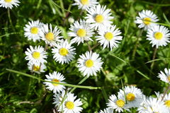Dasiy. A photo of a collection of daisy's amongst grass stock image