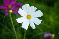 Dasiy white flower. Yellow flower in the garden stock images