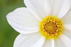 Dasiybloem in bloei stock fotografie