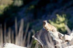 Dassie坐一只摇滚的岩石非洲蹄兔 图库摄影