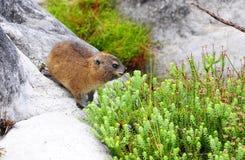 Dassie或非洲獾 库存照片