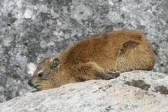 dassie非洲蹄兔岩石 图库摄影