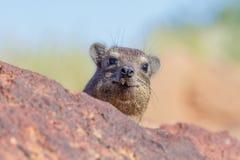 Dassie/岩石非洲蹄兔 库存照片