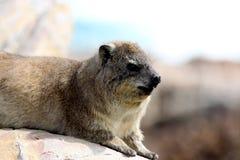 Dassie/岩石非洲蹄兔 免版税库存照片