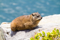 Dassie Royalty Free Stock Photography