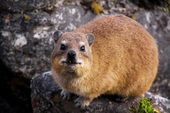 Dassie 3 Royalty Free Stock Photos