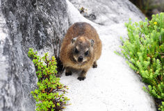 Dassie or African Badger. Or Capy Hyrax on Table Mountain, Cape Town, South Africa Royalty Free Stock Photography