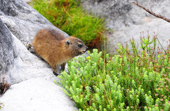 Dassie or African Badger Stock Photo