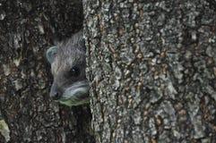 Dassie africano dell'albero (coniglio di roccia) fotografia stock