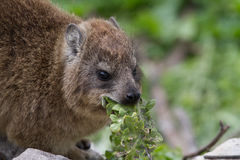 Dassie, Betty`s Bay, South Africa Stock Photography