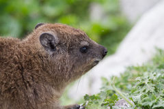 Dassie, Betty`s Bay, South Africa Stock Photos