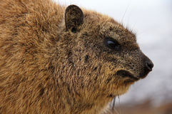 Dassie - Brown furry creature from South Africa. Taken by the Cape of Good Hope. Photo shows face, eyes, ears, nose, front of body. Otherwise known as: african Royalty Free Stock Photo