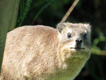 Dassie Stock Photography