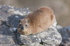 Dassie de roche (capensis de procavia) Photographie stock libre de droits