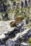 Dassie della hyracoidea di roccia due alla montagna della Tabella fotografia stock libera da diritti