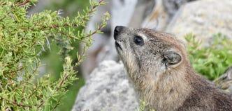 Dassie in Hermanus... Close up of Cape hyrax in Hermanus Stock Photo