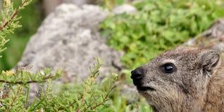 Dassie in Hermanus... Close up of Cape hyrax in Hermanus Stock Photography