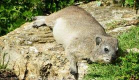 Dassie in Hermanus... Close up of Cape hyrax in Hermanus Royalty Free Stock Photo