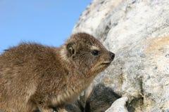 dassie hyrax βράχος Στοκ εικόνα με δικαίωμα ελεύθερης χρήσης