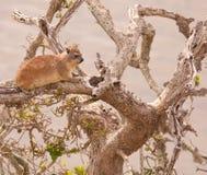 Dassie im trockenen Baum Stockfoto