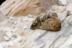 Dassie mother and children Stock Images