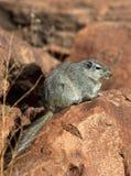 dassie Namibia petromys szczura typicus Zdjęcie Stock