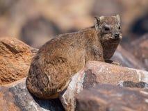 Dassie鼠(Petromus typicus) 库存照片