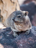 Dassie鼠(Petromus typicus) 库存图片