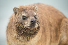Dassie portrait with blur background Royalty Free Stock Photography
