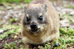 Dassie Rat Royalty Free Stock Photography