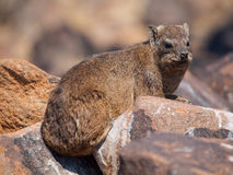 Dassie rat (Petromus typicus) Stock Photos