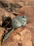 Dassie Rat (Petromys typicus) - Namibia Stock Photo