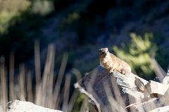 Dassie Sitting on a Rock - Rock hyrax Stock Photography