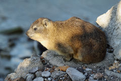 Dassie in South Africa Royalty Free Stock Photography