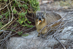 Dassie in South Africa Royalty Free Stock Images