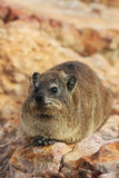 Dassie szczur, góralek, na skale, Kapsztad, Południowa Afryka Obraz Stock