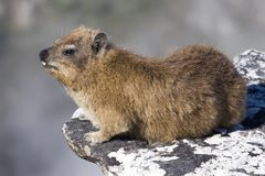 Dassie on Table Mountain Royalty Free Stock Photography