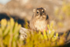 Dassie on Table Mountain South Africa Stock Photo