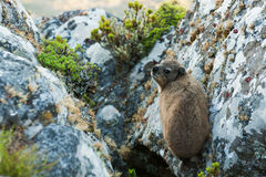 Dassie on Table Mountain South Africa Royalty Free Stock Photography