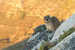 Dassie on Table Mountain South Africa Royalty Free Stock Photos