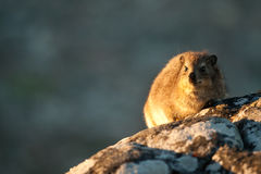 Dassie on Table Mountain South Africa Stock Photography