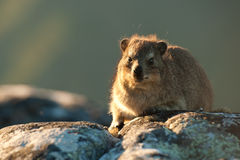 Dassie on Table Mountain South Africa stock image