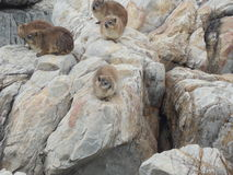 Dassies. Group of Dassies resting on rocks Stock Photography