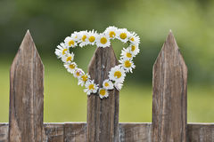 Dasy heart. A heart-shaped daisy chain on a picket fence in the garden royalty free stock photo