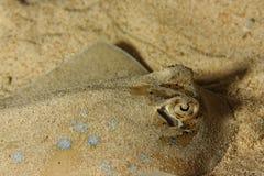 Dasyatis kuhli - Sting ray Stock Image