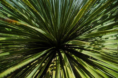 Dasylirion wheeleri. A detail of the fronds of a Sotol tree (Dasylirion wheeleri Stock Photography
