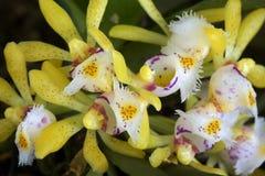Dasypogon de Gastrochilus d'orchidée Photographie stock libre de droits