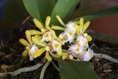 Dasypogon de Gastrochilus d'orchidée Images libres de droits