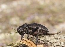 Dasypus Bradyporus Στοκ φωτογραφίες με δικαίωμα ελεύθερης χρήσης