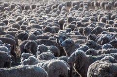 Dat is heel wat sheeps, Tierra del Fuego, Argentinië Royalty-vrije Stock Afbeeldingen